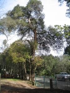 Emergency Oak Removal (Woodside,Ca.)