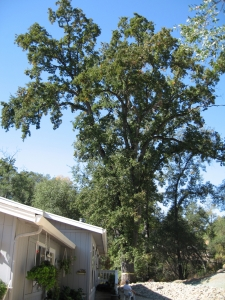 Hazardous Oak Removal