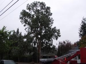 Eucalyptus Removal (Menlo Park, Ca.)