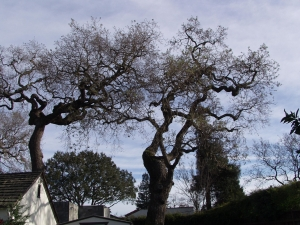 Hazardous Oak Removal (Redwood City,Ca.)