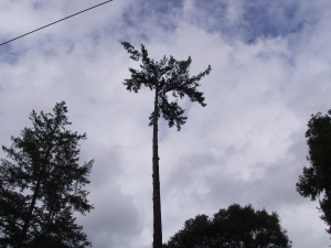 Fir Removal (Last Limbs)
