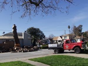 Pine Removal (Base Cut)