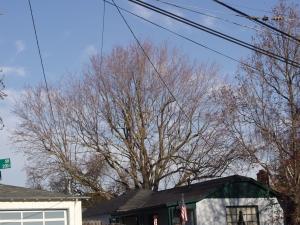 Silver Maple Removal (San Carlos, Ca.)