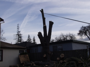 Silver Maple Removal