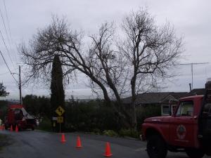Box Elder Removal (Emerald Hills, Ca.)