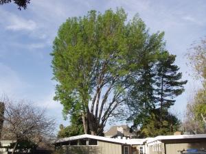 Evergreen Ash Removal (Palo Alto, Ca.)