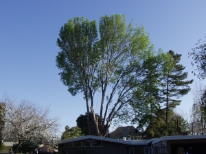 Evergreen Ash Removal