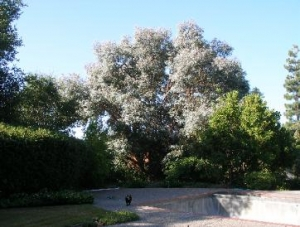 Eucalyptus (before)