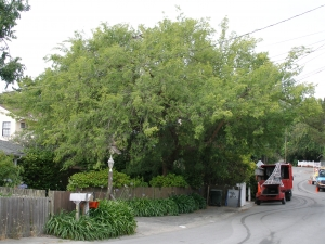 3 years later same Chinese Elm (Before)