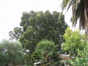 Black Acacia Trees for Removal (Palo Alto, Ca.)