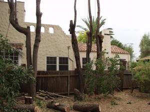Black Acacia (View in Backyard)