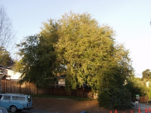 Chinese Elm (Before)