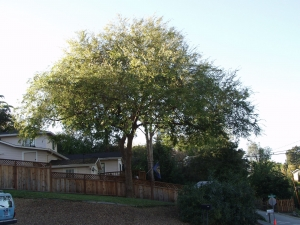 Chinese Elm (After)