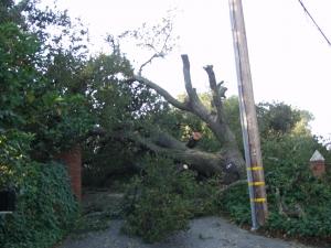 Emergency Oak Removal  Dec. 26 (Woodside Hills,Ca.)