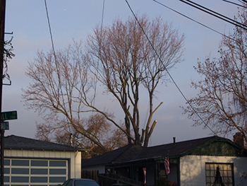 Woodside CA Tree Pruning Service
