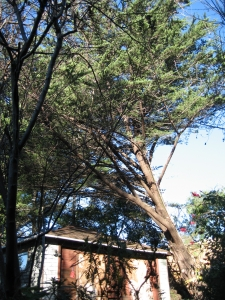 Monterey Cypress  Removal