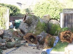 Oak Removal