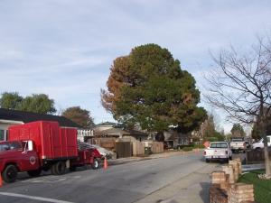 Pine Removal (San Mateo, Ca.)