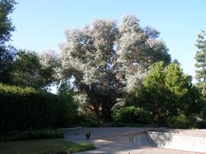 Eucalyptus Pruning Woodside Hills, Ca