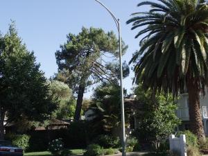 Canary Island Pine Removal (Palo Alto, Ca.)
