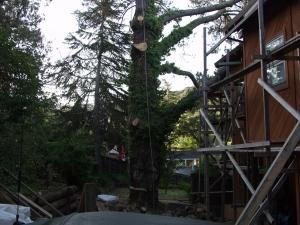 Dead Pine Removal (San Carlos, Ca,)