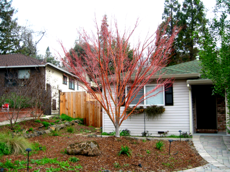 Tree Planting Emerald Hills CA - Redwood City Shrub Selection - Neck of the Woods Tree Service - Coral_Bark_Maple