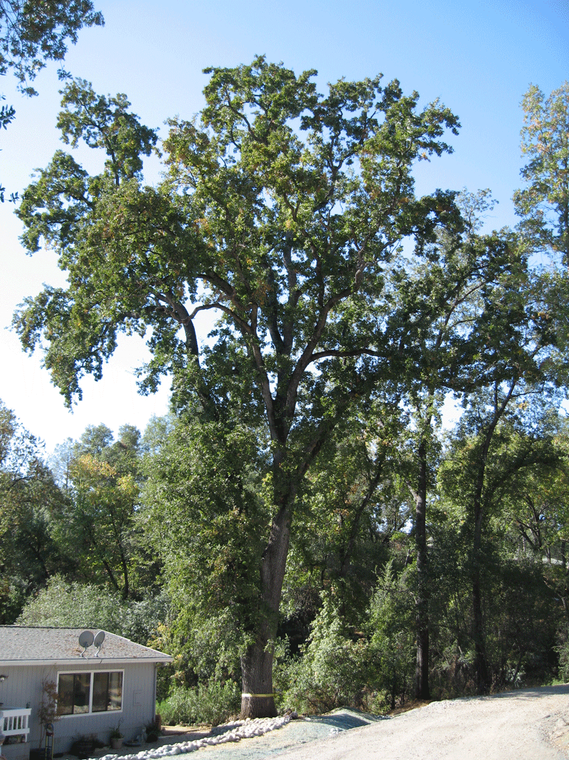 24/7 Emergency Tree Removal Emerald Hills CA - Redwood City Stump Grinding - Neck of the Woods - IMG_0093
