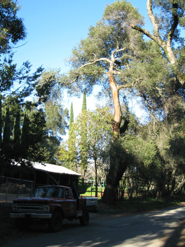Tree Risk Assessment Emerald Hills CA - Redwood City Hazard Abatement - Neck of the Woods Tree Service - RiskTree_jpg